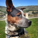 Axel the Australian Cattle Dog looking for fun times down by the Columbia River.