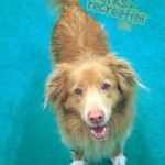 Dozer the Duck Toller happy to be at the daycare.