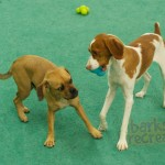 Enzo the Puggle dodging Ruby the Britney.