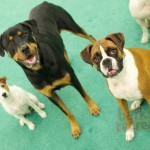 Kage the Parsons Terrier, Sadie the Rottie, and Aries the Boxer