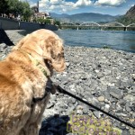 Oliver the Cocker Spaniel peering out over the Columbia River.