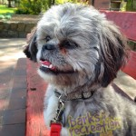 Phati the Shih Tzu sitting on a bench at the park.