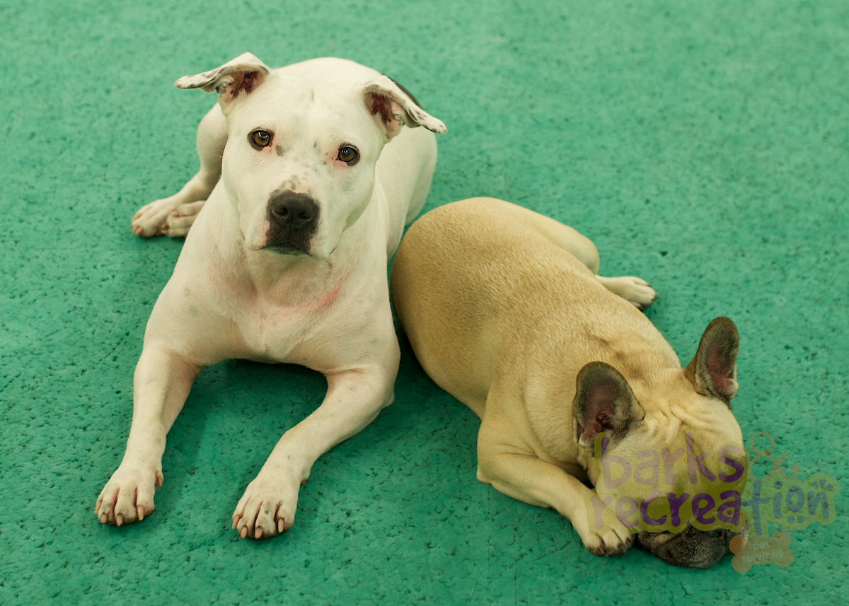 Sadie the Pitbull and Sophie the French Bulldog