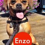 Smiling Enzo the Puggle
