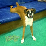 Stretching Aries the Boxer