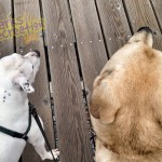 Sadie the Pitbull and Rosco on the dock