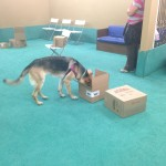 Scent Games class: Lily using her nose to find treats.