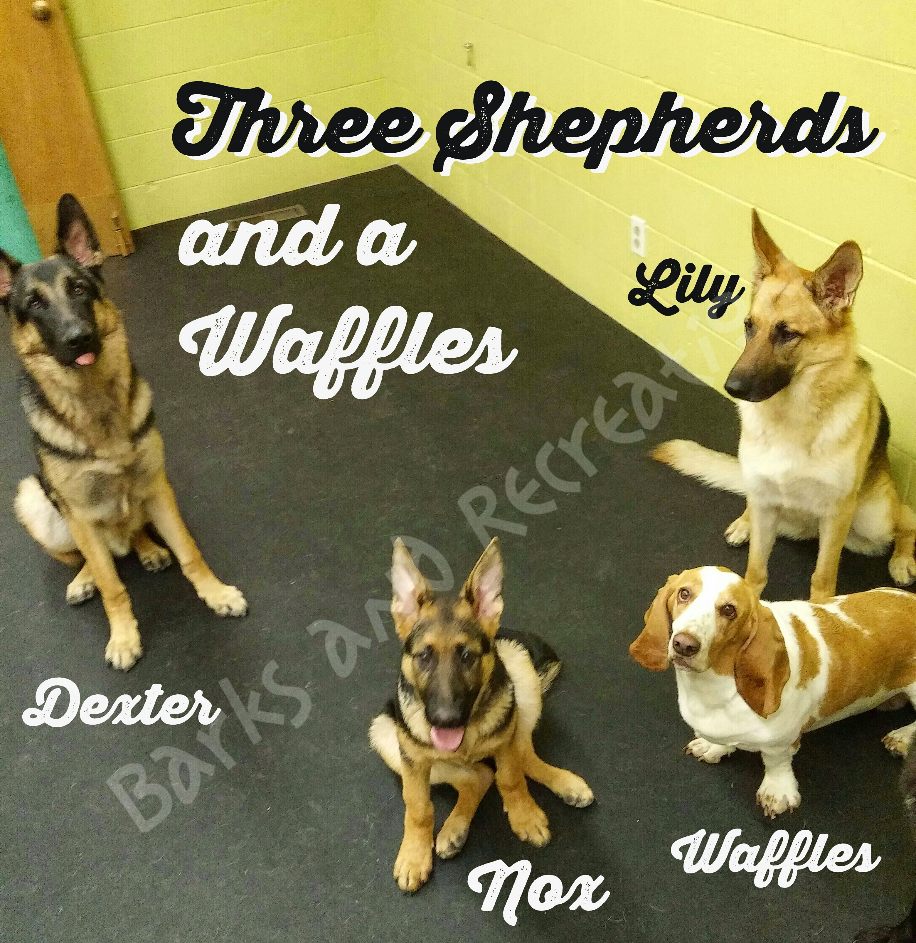 Three Shepherds and a Waffles