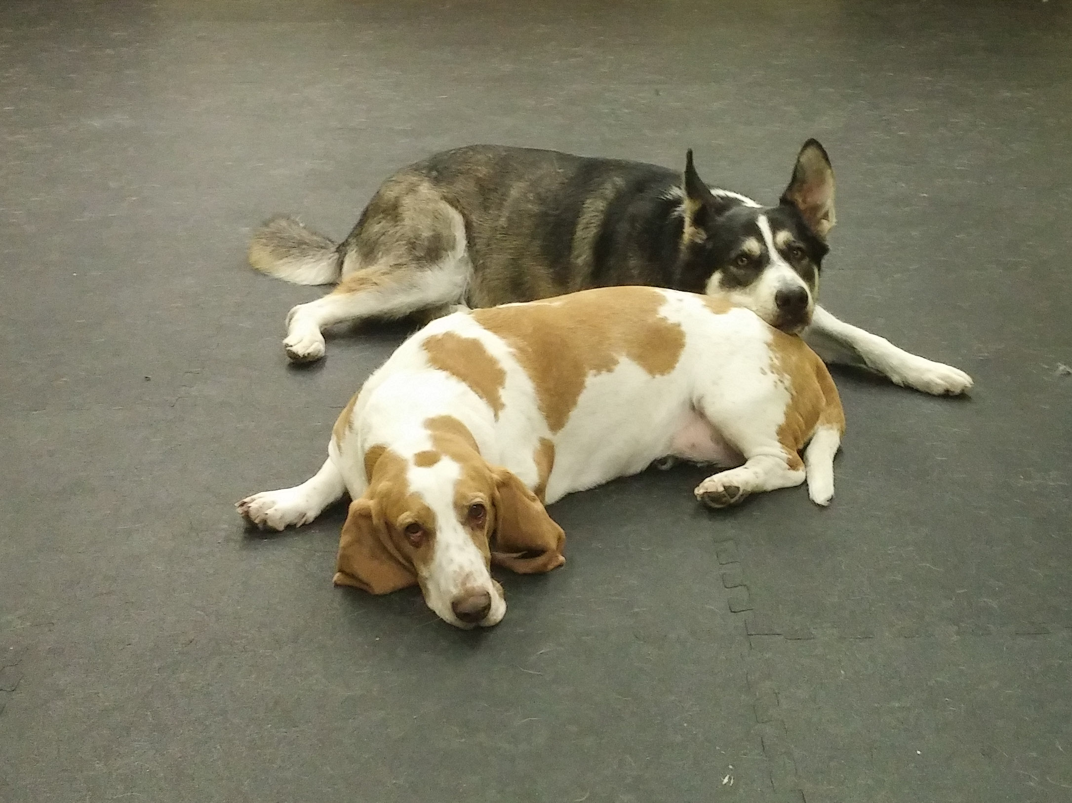 Daycare Dogs - Waffles and Bailey