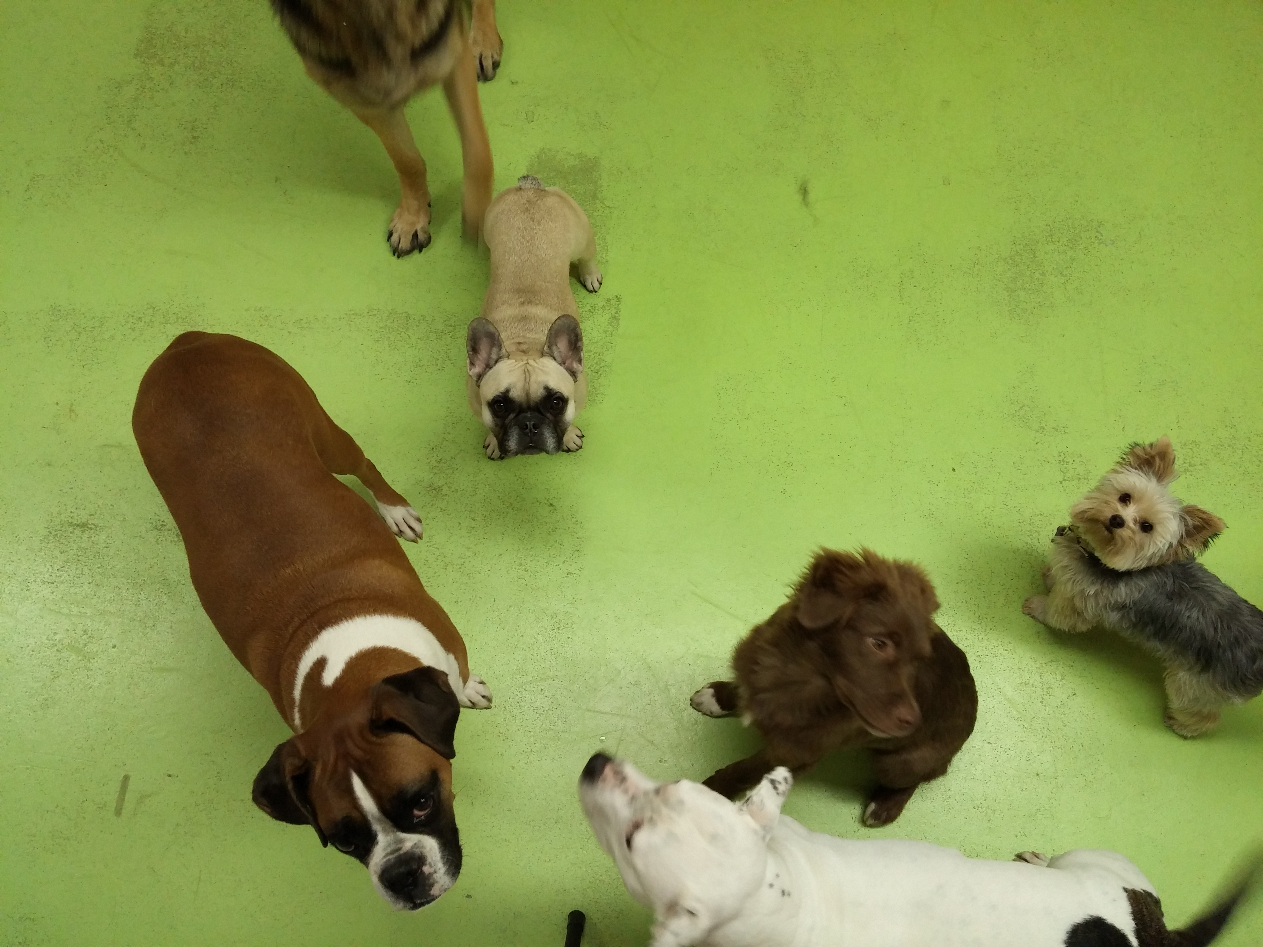 Daycare Dogs - Aries, Sophie, Sadie, and Brew