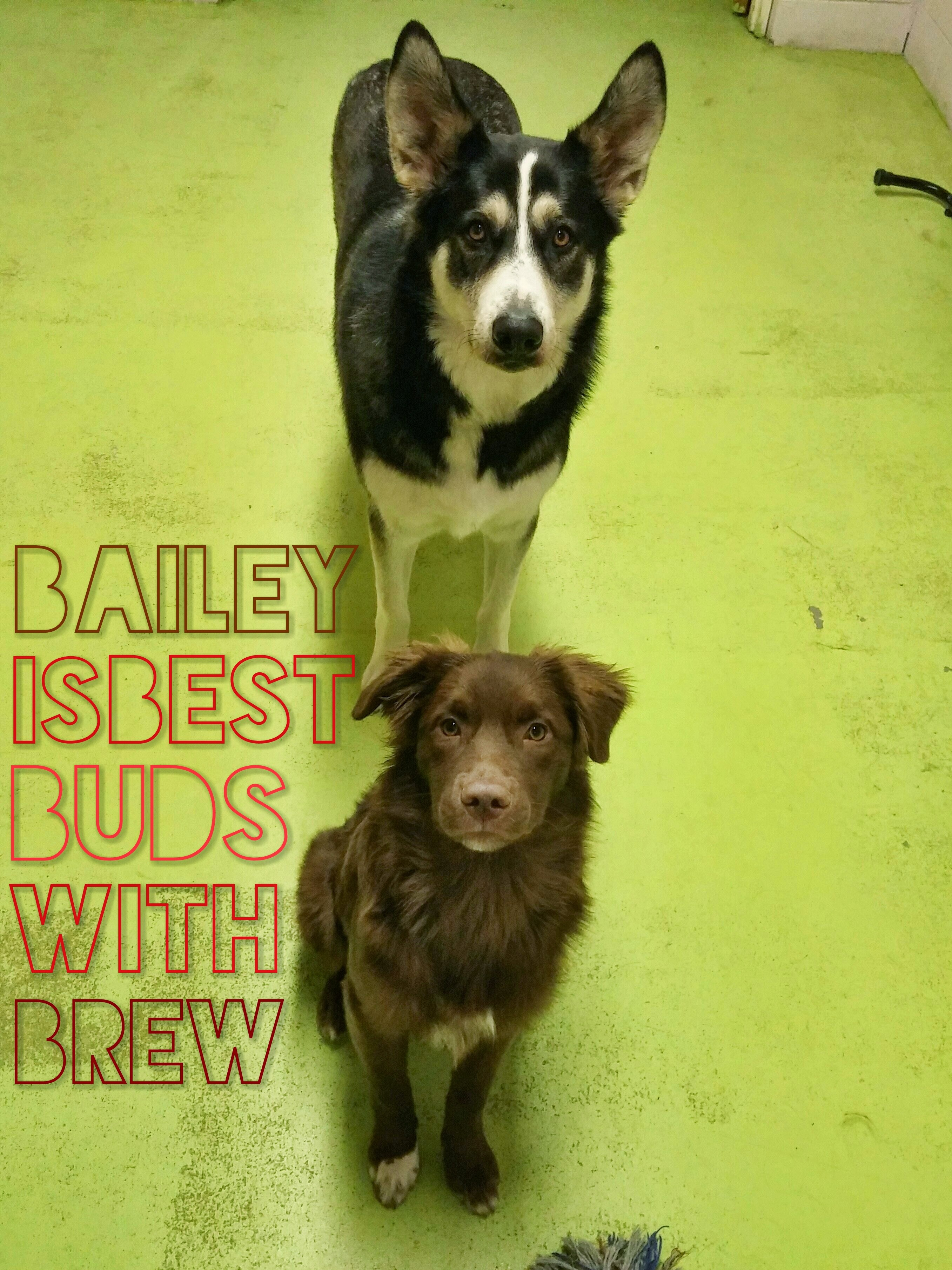 Daycare Dogs - Bailey and Brew