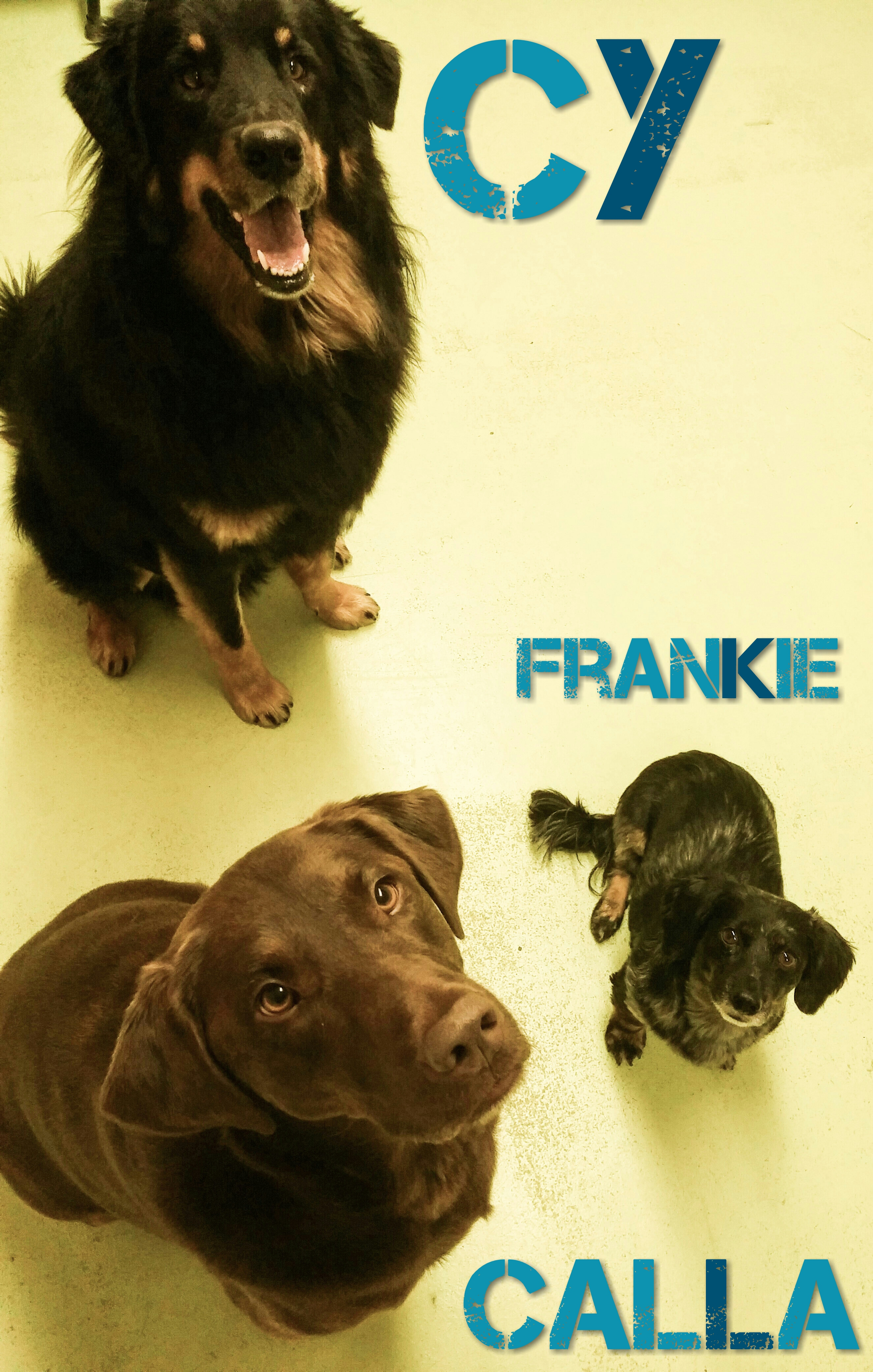 Daycare Dogs - Cy, Calla, and Frankie