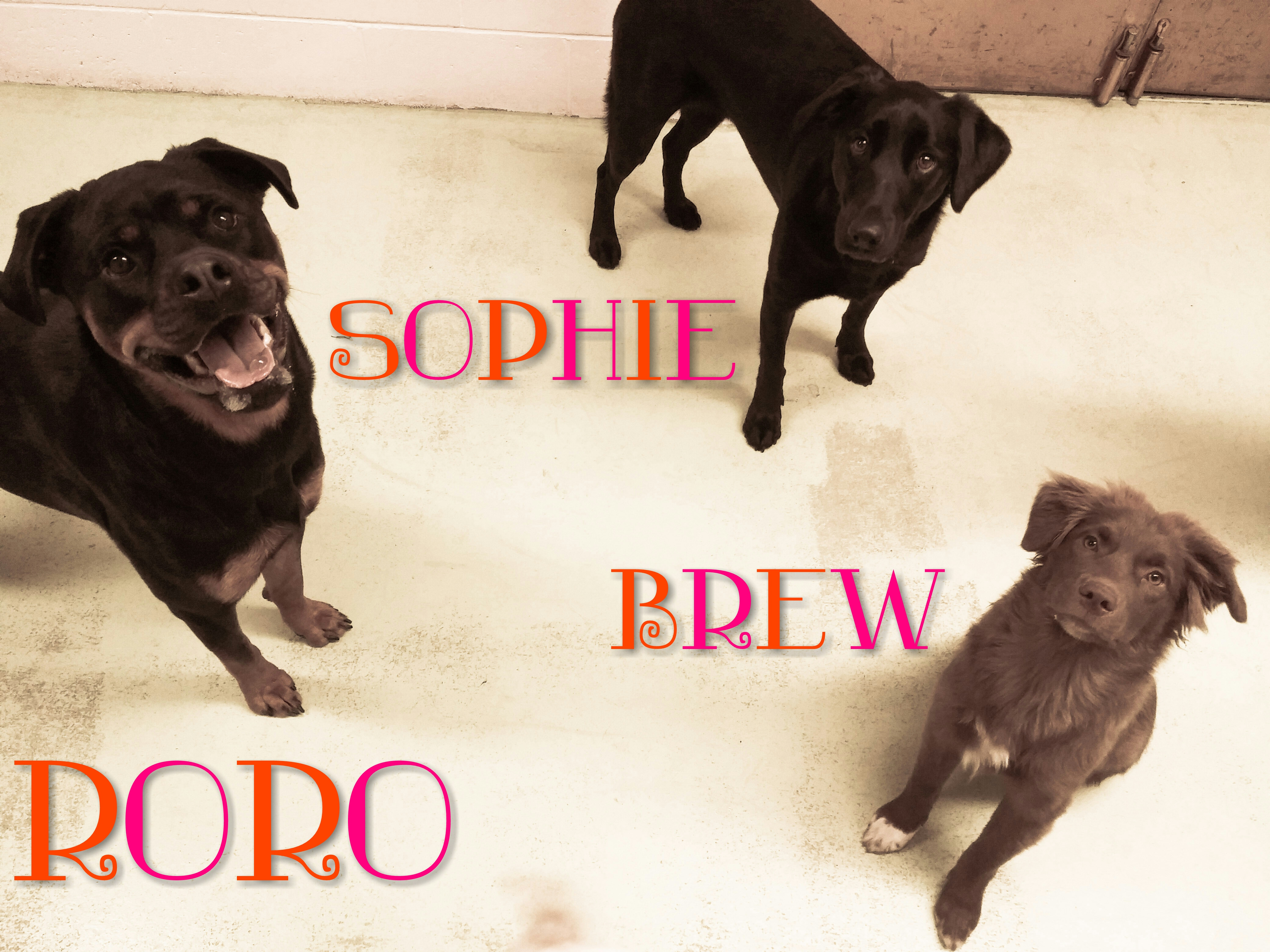Daycare Dogs - Roro, Sophie, and Brew