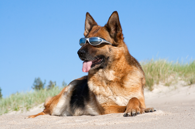 barks-and-rec-trail-bc-sun-protection-for-dogs-german-shepherd