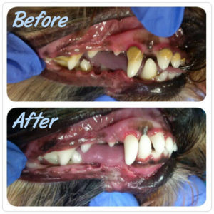 k9-oral-hygiene-before-after-barks-and-recreation-in-trail-bc